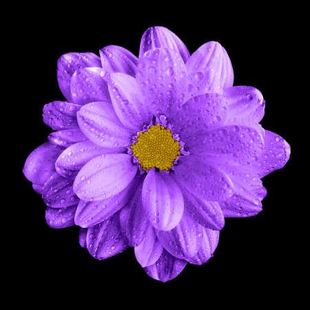 surrealistic: Surreal dark chrome violet gerbera flower macro isolated on black