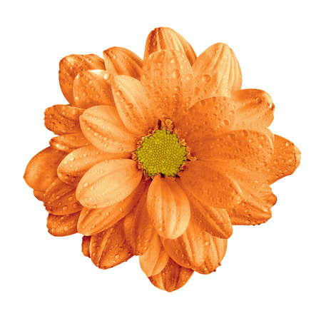 surrealistic: Surreal orange gerbera flower macro isolated on white