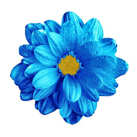 Surreal dark chrome blue gerbera flower macro isolated on white