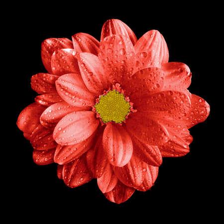 surrealistic: Surreal dark chrome red gerbera flower macro isolated on black