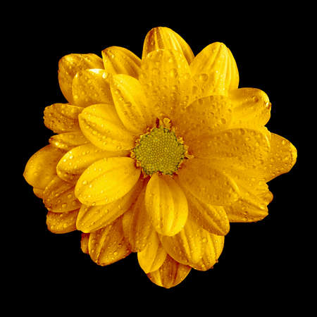 Surreal dark chrome yellow gerbera flower macro isolated on black