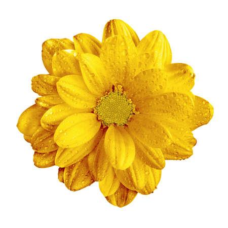 Surreal dark chrome yellow gerbera flower macro isolated on white Stock Photo
