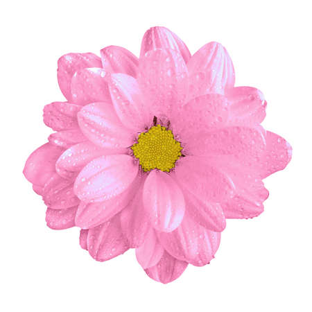 surrealistic: Tender natural pink gerbera flower macro isolated on white Stock Photo