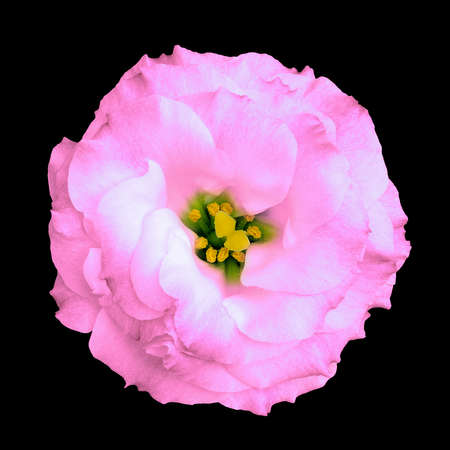 Natural pink rose flower isolated on black