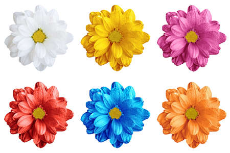Pack of colored gerbera flowers macro isolated on white Imagens
