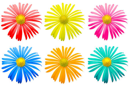 Pack of colored exotic chrysanthemum flowers macro isolated on white