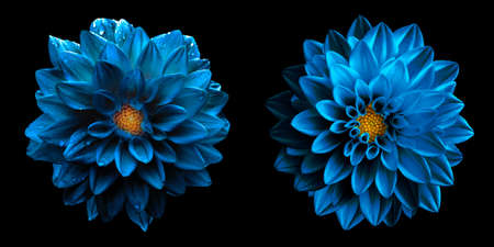 Macro de flores de dalia azul marino de cromo oscuro húmedo surrealista aislado en negro. Alta foto de stock detallada