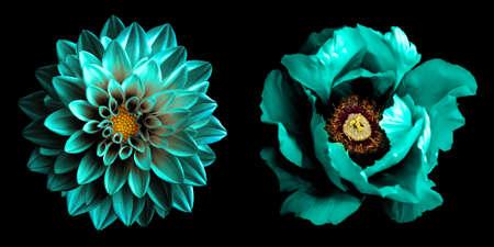 Surreale dunkle Chrom-Türkis-Dahlie und Pfingstrose blüht Makro einzeln auf Schwarz. Hochdetailliertes Archivfoto Standard-Bild