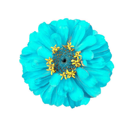 Surreal cyan Zinnia flower isolated on white. High detailed macro photo