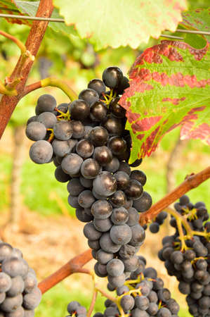 Red grapes in autumn Stock Photo