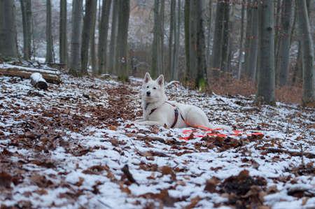White shepherd dog in snow - Berger Blanc Suisse