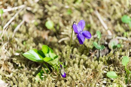 Violet on green moss genus Viola