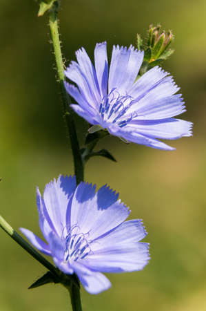 Close up of blue sailors blooming Cichorium intybus