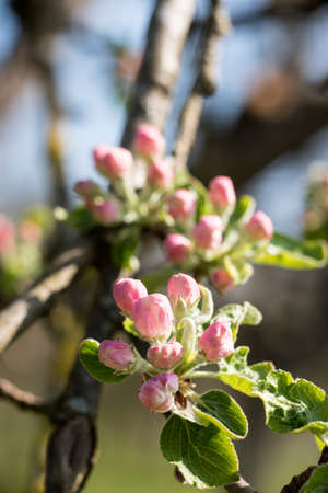 Bud of apple tree right before blooming