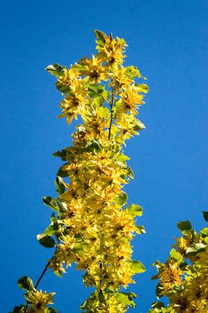 Fruit of common hornbeam aginst blue sky betulus Reklamní fotografie
