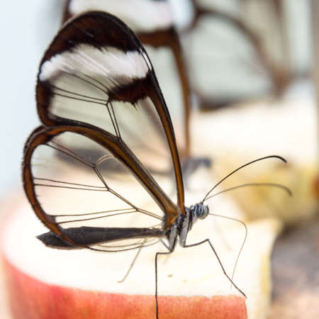 Close up of glass winged butterfly Greta morgane Stock fotó