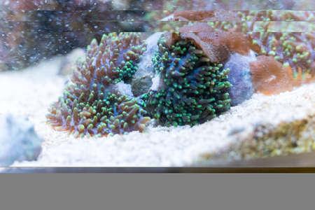 splitting ricordea yuma in reef aquarium