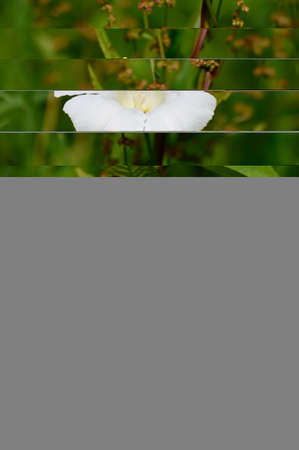 blooming white morning glory on sorrel Stok Fotoğraf