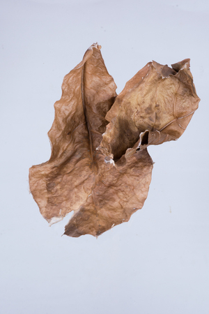 Dry leaves on the white background .