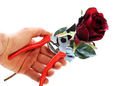 pruner: Hand that cuts flower with garden pruner Stock Photo