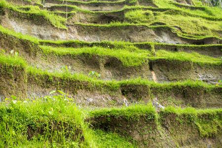 padi: Rice fields, Ubud, Bali