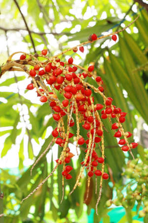 Ripe Betel Nut or Areca Nut Palm on Tree  photo