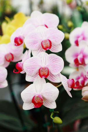 phalaenopsis  photo