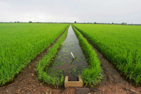 waterway: Paddy Field And Canal