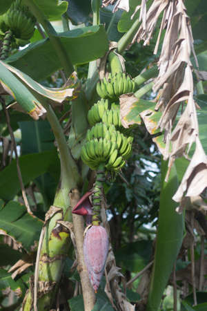 Bunch of ripening bananas on the tree in garden  photo