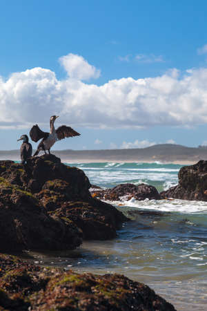 New Zealand shags on a rock  One shag spreads wings and other one is next to this bird  Leucocarbo carunculatus  photo