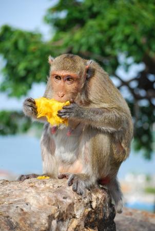 Monkey eating mango