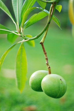 Two Small Green Mangoes Hanging On The Tree photo
