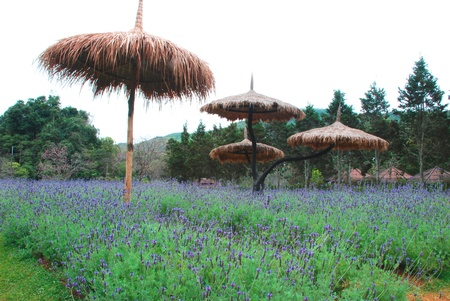 Lavender field farm in the north of Thailand