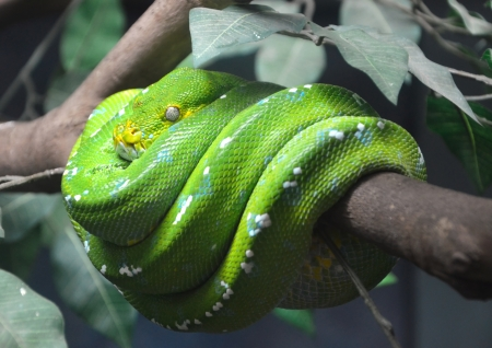 snake head: close up of green tree python wrapped around the branches