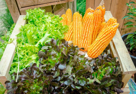 fresh corn and vegetables in the garden photo