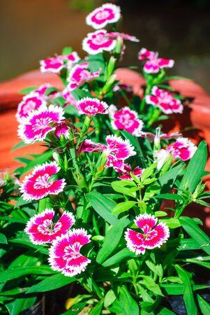 Dianthus chinensis  China Pink flower