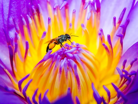 close up of bee on purple lotus flower photo