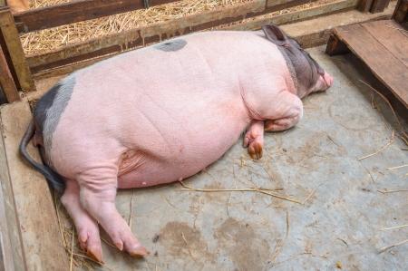 pig sleeping in pen Stock Photo