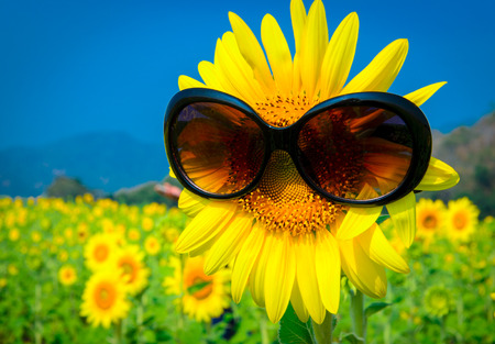 Sunflower with sunglasses at field Stock Photo
