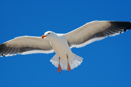 Seagull Flying Blue Sky Stock Photo - 1504234