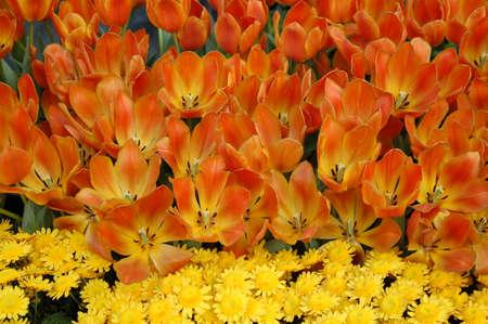 Tulip Flowers in Bloom Фото со стока