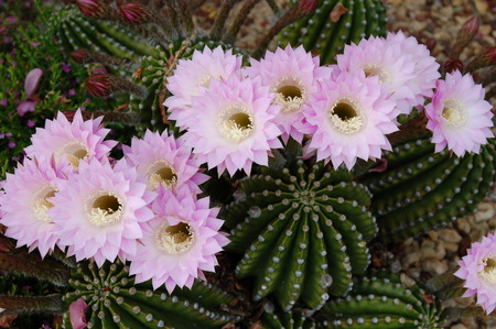 ikebana: Cactus Echinopsis  Stock Photo