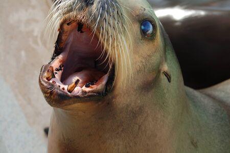 blubber: Hungry Sea Lion