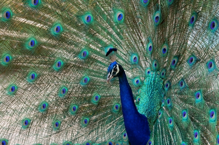 peacock dance attracting peahen mating calls  photo