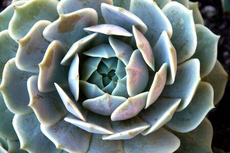 cactus species: ROSSETTE de plantas suculentas Foto de archivo