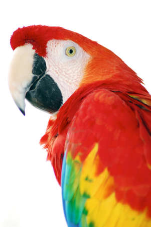 Red Macaw Imagens