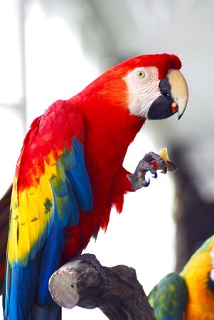 red macaw eating