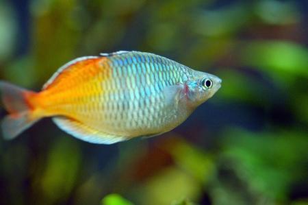 goldy: Orange in Acquario Pesci