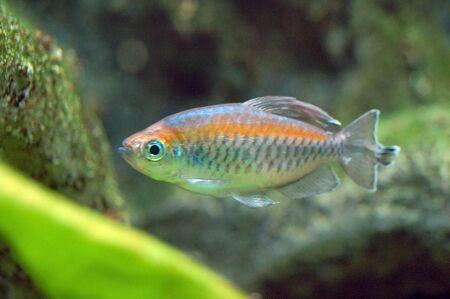 goldy: Fish in Aquarium Stock Photo