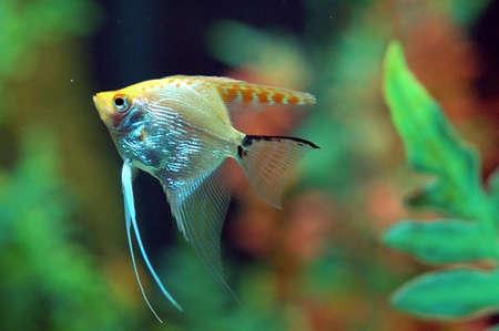 goldy: Pesce che nuota in Acquario  Archivio Fotografico